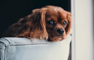4 Reasons Why Pet Owners Should Get Their Upholstery Cleaned